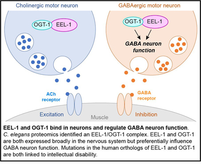 EEL-1 and OGT-1 bind in neurons and regulate GABA neuron function