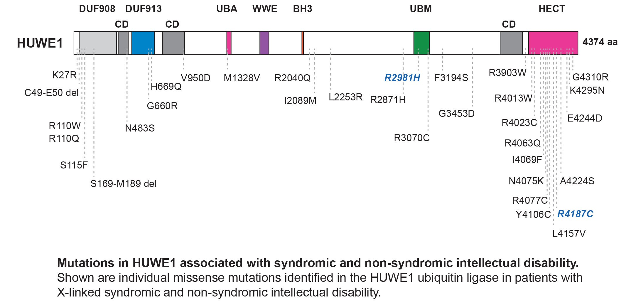 Mutations associated with syndromic and non-syndromic intellectual disability