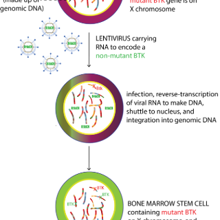 Lentivirus carrying RNA to encode a non-mutant BTK