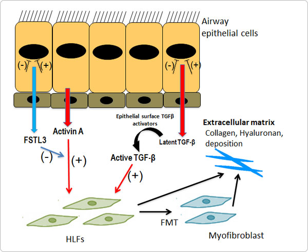 Airway remodeling mechanisms